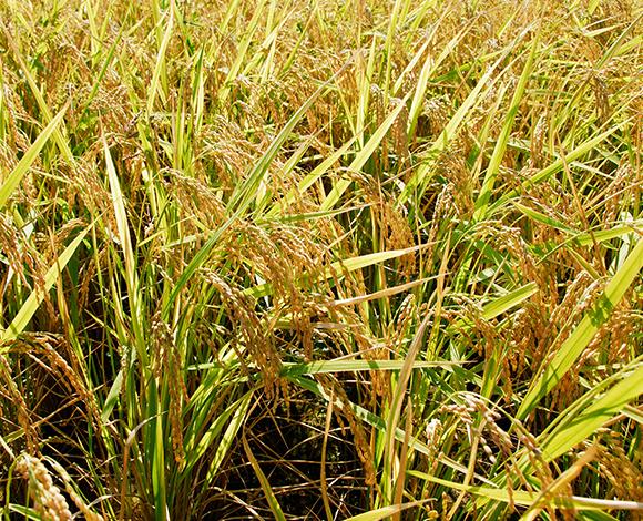 猛暑・水不足時に対応した米づくり