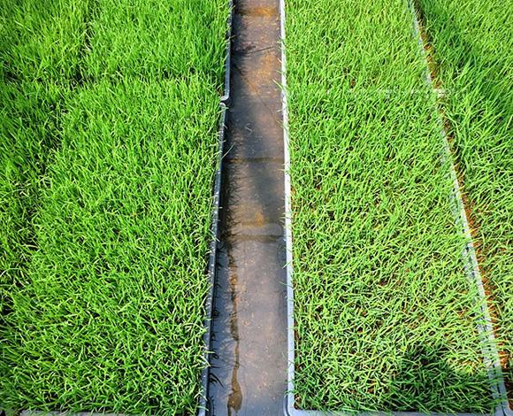 飼料用米の密播疎植及び深耕・多肥栽培による収穫向上とコスト低減効果の検討(新潟県・平成24年度)